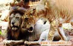 海南热带野生动植物园-狮子
