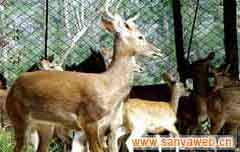 海南热带野生动植物园-麋鹿