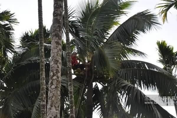 槟榔树和椰子树的区别就是高矮